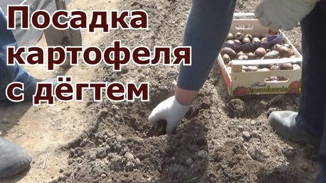 Деготь от проволочника в огороде
