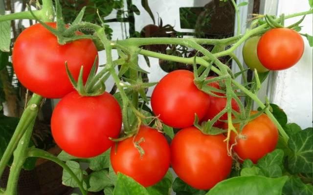 начало плодоношения томатов на мин вате