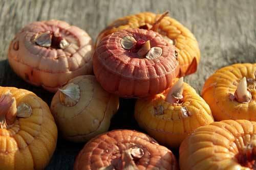 Гладиолусы хранение луковиц на зиму