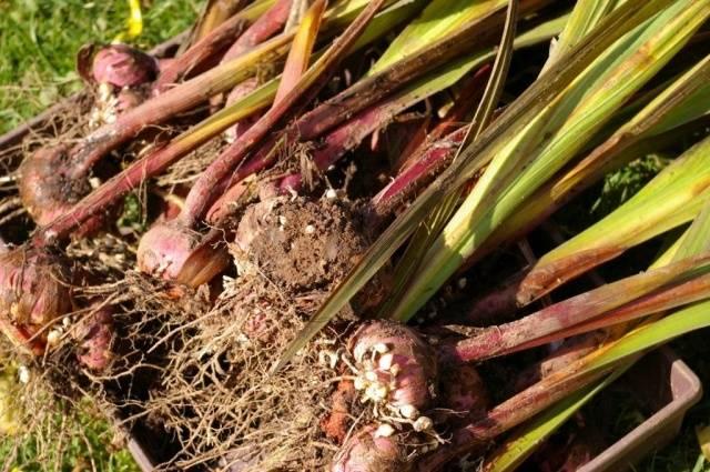Гладиолусы когда выкапывать и как хранить