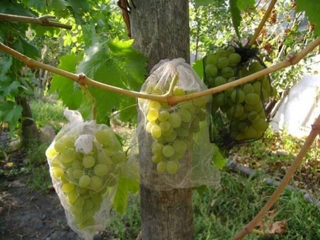 Виноград Кишмиш 342 описание сорта, фото, отзывы