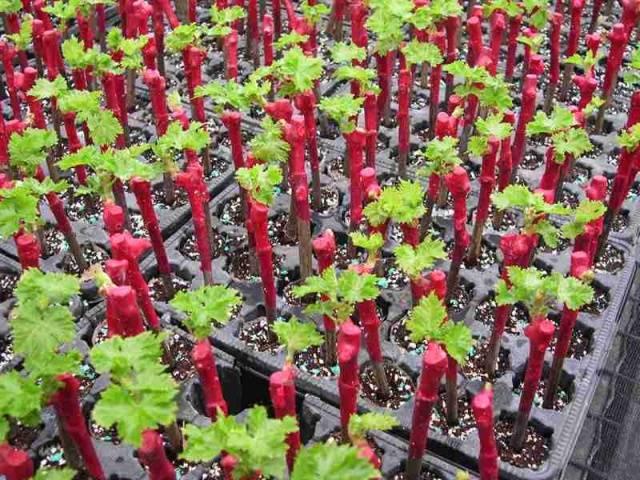 Виноград Сенатор описание сорта, фото, отзывы