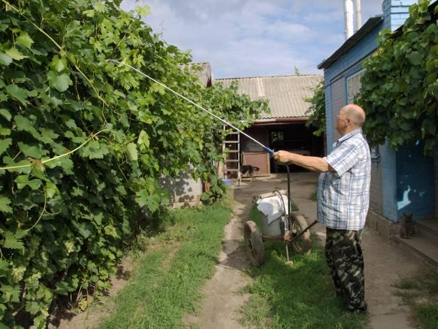 Виноград Таежный описание сорта, фото, отзывы