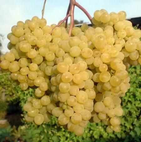Виноград Русбол описание сорта, фото, отзывы