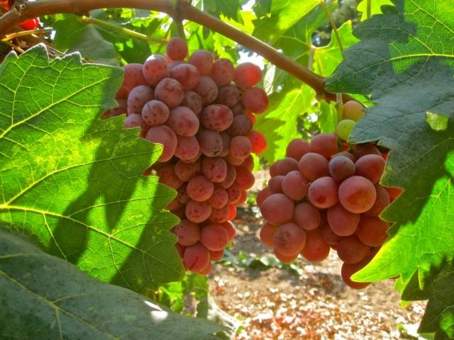 Виноград Пестрый описание сорта, фото, отзывы