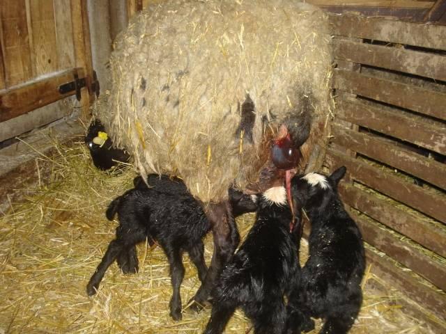 Овцы на мясо в домашних условиях 866