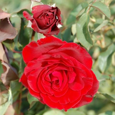 Когда сажать штамбовую розу