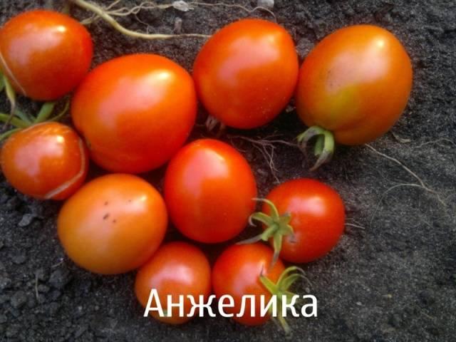 Лучшие сорта томатов для лоджии: посадка и уход