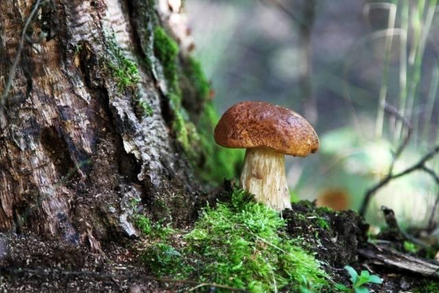 Где выращивают белые грибы в промышленных масштабах