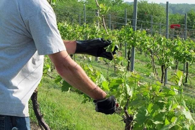 Удобрение винограда: подкормка весной, летом, осенью