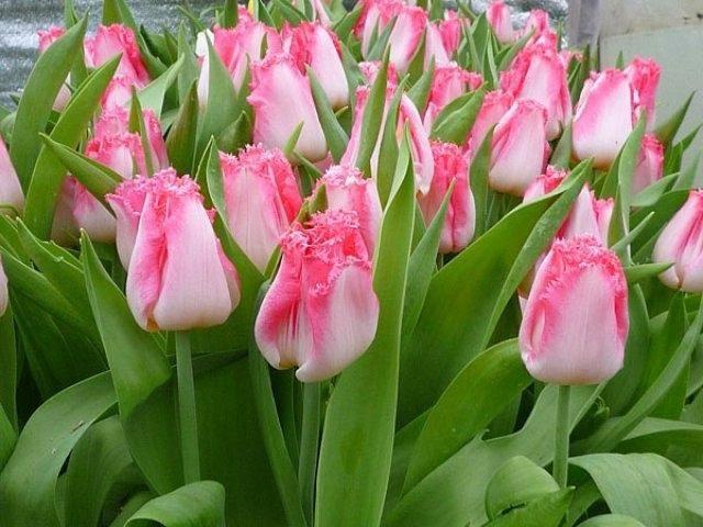 где хранить тюльпаны зимой