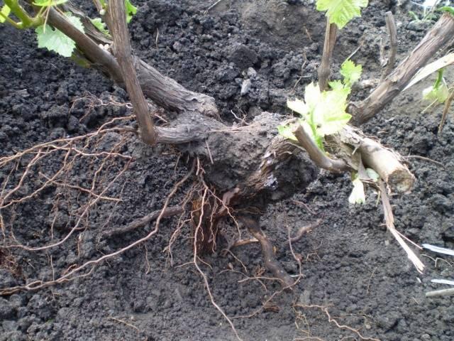 образом, терморегуляция можно ли пересадить взрослый куст винограда осенью такое