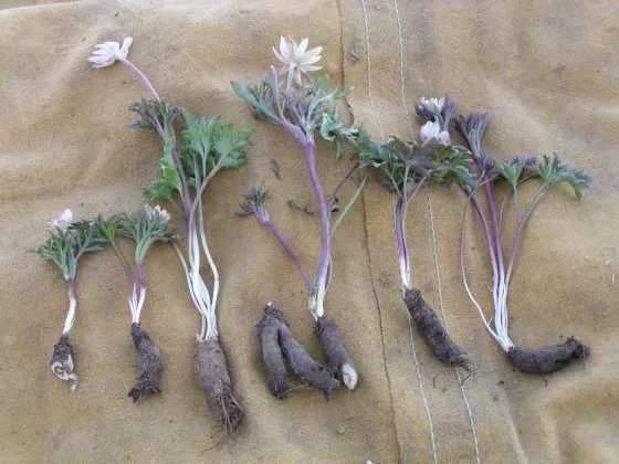 Анемоны выращивание и уход в открытом грунте