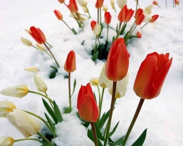 Уход и посадка тюльпанов осенью