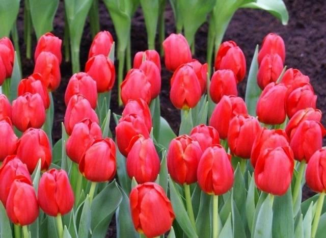Обязательно ли тюльпаны выкапывать каждый год