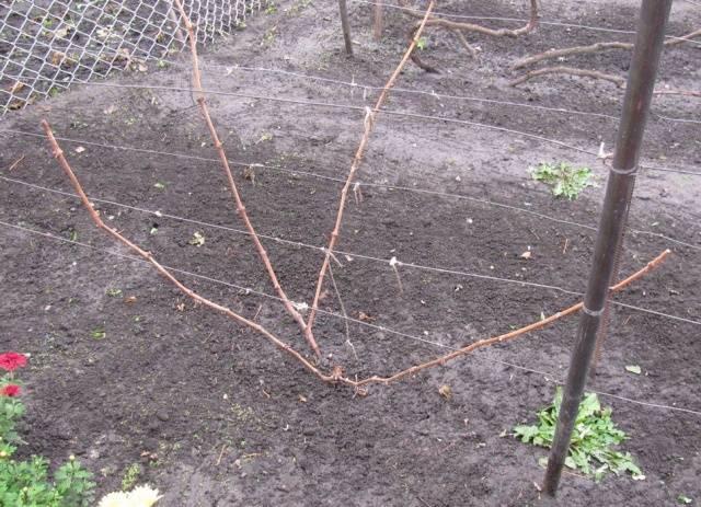 обрезка винограда осенью в картинках для начинающих