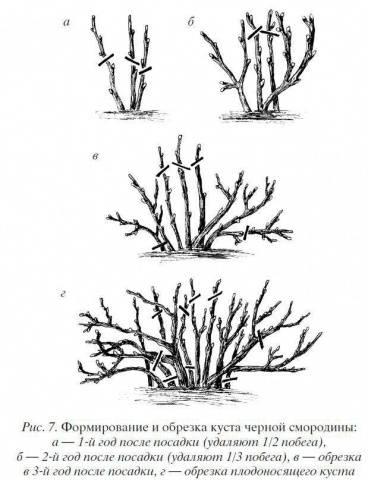 Черная смородина Экзотика описание сорта, фото, отзывы