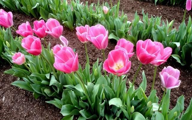 Посадка тюльпанов осенью в Подмосковье: время, сроки, правила 6