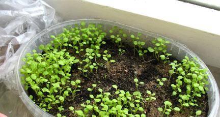 Агератум выращивание из семян, когда сажать