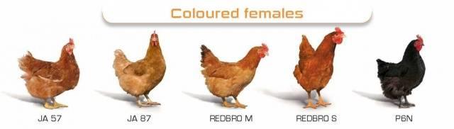 Куры редбро: описание породы