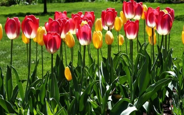 Посадка тюльпанов осенью в Подмосковье: время, сроки, правила 13