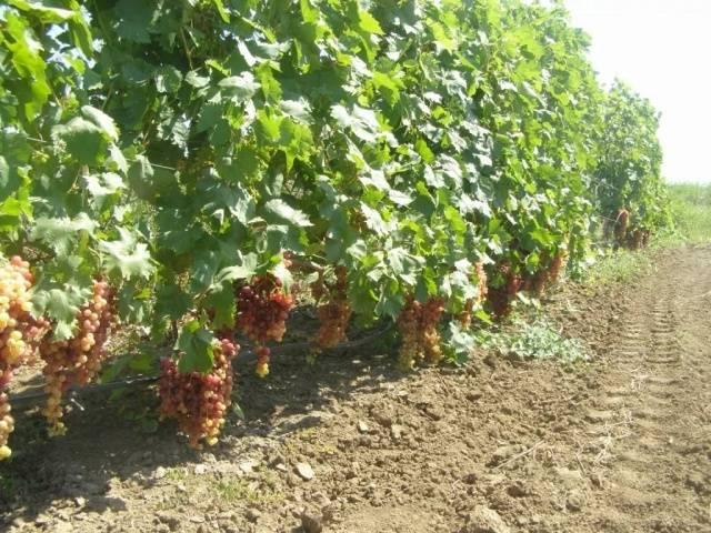 Виноград Преображение описание сорта, фото, отзывы