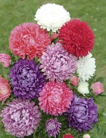 Астра Миледи - смесь окрасок фото, выращивание из семян