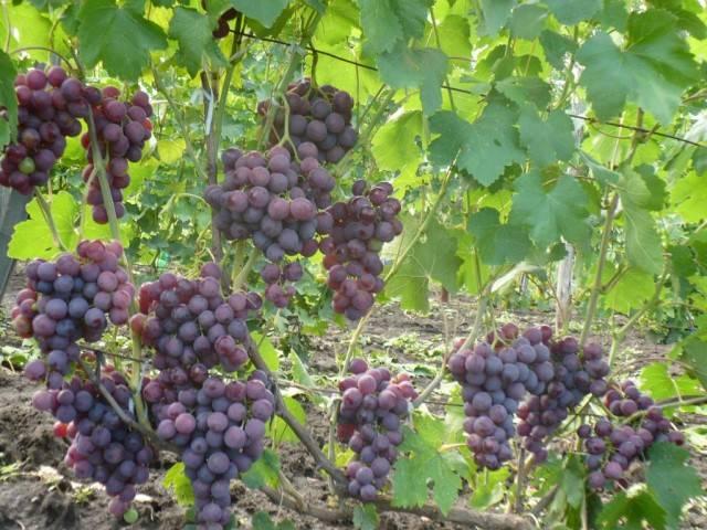Виноград Рошфор описание сорта, фото, отзывы