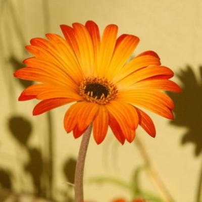 Арктотис выращивание из семян в домашних условиях