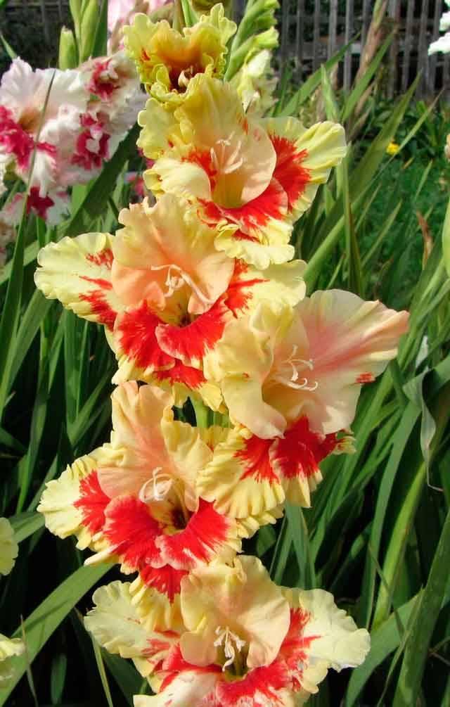 Цветы гладиолусы
