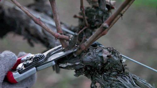 Виноград Викинг описание сорта, фото, отзывы