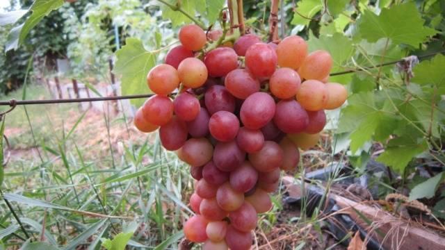 Всё о винограде «ливия» от описания сорта до отзывов о нём