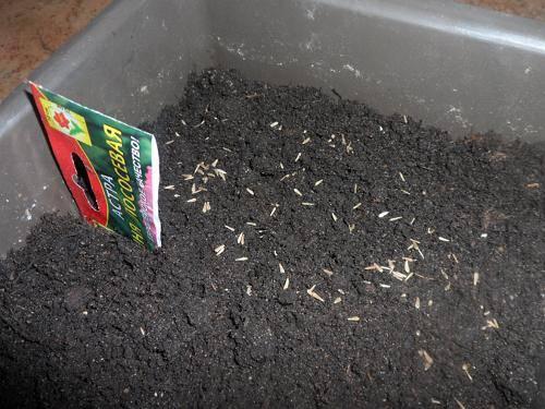 Астры выращивание из семян когда сажать на рассаду 28