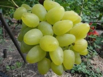 Виноград Бажена описание сорта, фото, отзывы