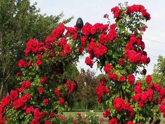 Пересадка плетистых роз осенью