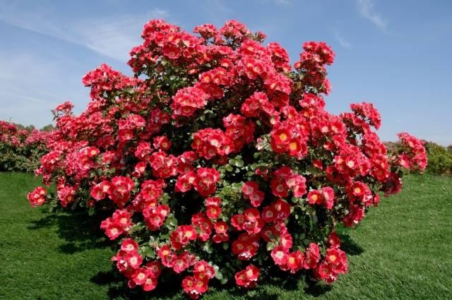 Чем подкормить розы в конце июля