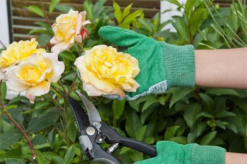 Как черенковать розы в домашних условиях осенью