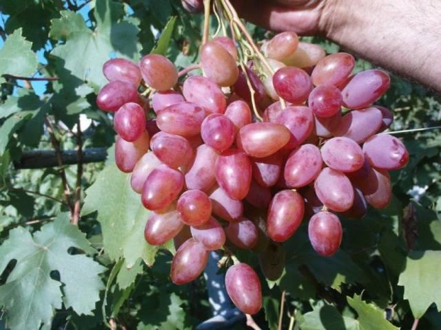 Виноград Гелиос описание сорта, фото, отзывы