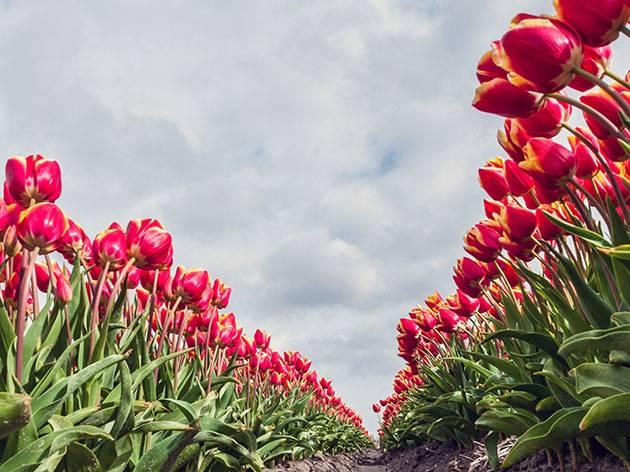Когда сажать тюльпаны осенью 81