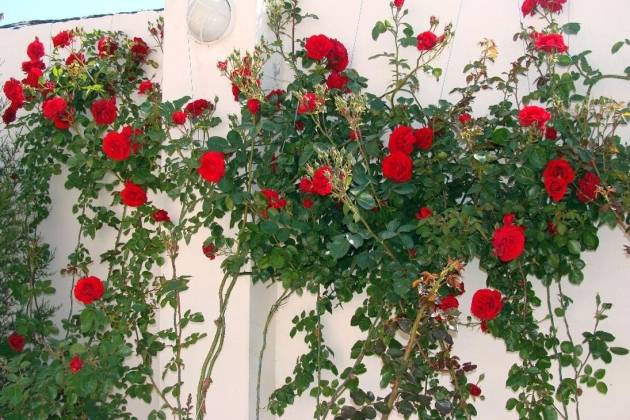 Плетистые (вьющиеся) розы: посадка, размножение, уход и выращивание фото