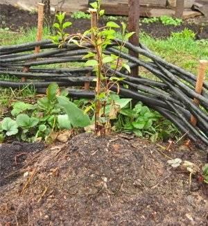 Клематис садовая посадка и уход в открытом грунте на урале