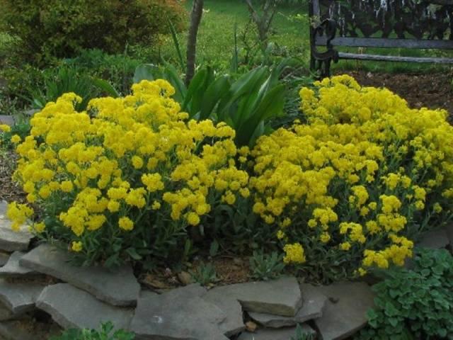 Алиссум скальный выращивание из семян