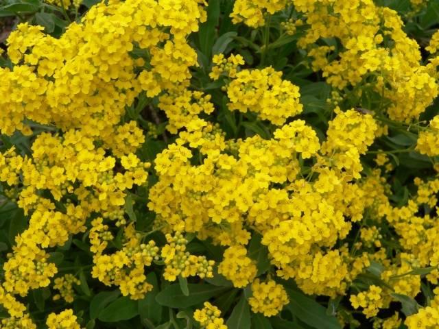 Алиссум выращивание из семян, когда сажать на рассаду
