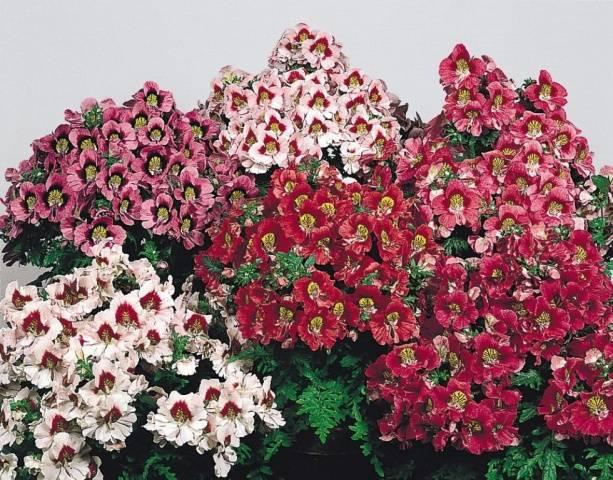 Выращивание схизантуса из семян в домашних условиях