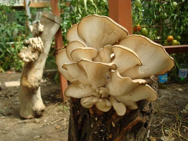 Изображение - Выращивание грибов вешенка 228_17