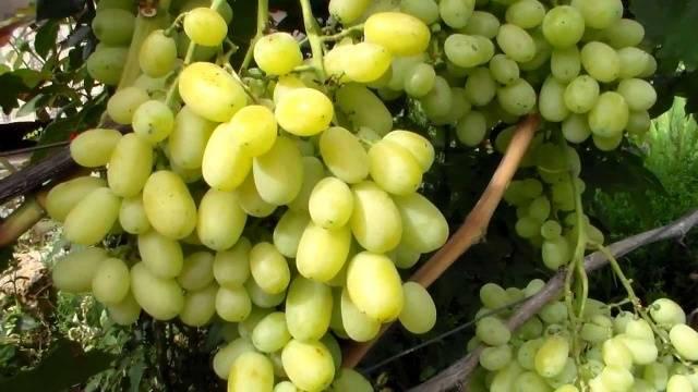 виноград лора описание сорта фото отзывы