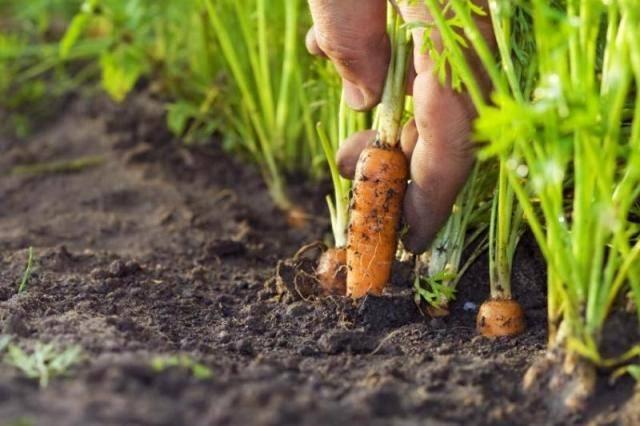 Лучшие сорта крупной моркови: посадка и уход