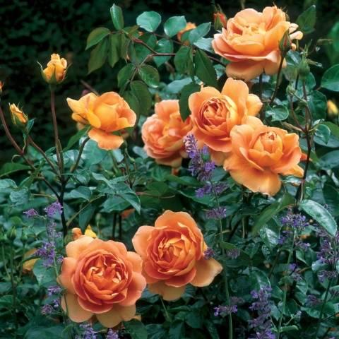 Роза Пэт Остин фото и описание