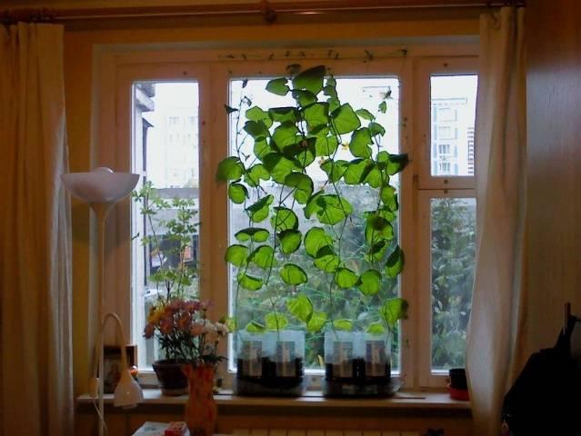 Выращивание огурцов на подоконнике зимой - подкормки, фото 58