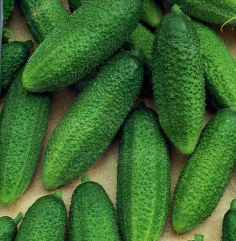 Какие сорта огурцов лучше выращивать на подоконнике зимой?